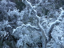 Hoarfrost på träd nära Glenorchy, Nya Zeeland Arkivbilder
