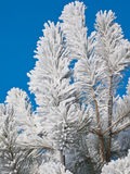 Hoarfrost on a pine. Hoarfrost on a young pine against the blue sky Royalty Free Stock Photos