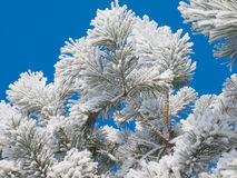 Hoarfrost on a pine. Hoarfrost on a young pine against the blue sky Stock Images