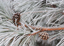 Hoarfrost pine with cones Royalty Free Stock Photos