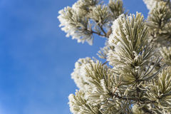 Hoarfrost on Pine Tree Branch Stock Images