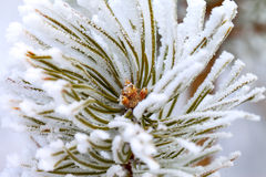 Hoarfrost on pine. Stock Photography