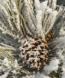 Hoarfrost on Pinecone Royalty Free Stock Images