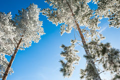 Hoarfrost on the pines in winter forest Stock Images