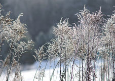 Hoarfrost on a plant Royalty Free Stock Photography