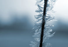 Hoarfrost on the plant close up Royalty Free Stock Images