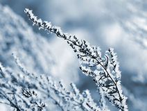 Hoarfrost on the plant close up. Stock Photography