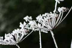 Hoarfrost on the plants Royalty Free Stock Photography