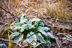 Hoarfrost on plants Stock Image