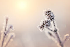 Hoarfrost on the plants at sunset Stock Photography