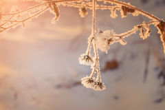 Hoarfrost on the plants in winter forest Royalty Free Stock Image