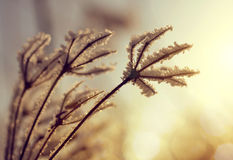 Hoarfrost on the plants Royalty Free Stock Images