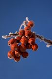 Hoarfrost on red berries. Hoarfrost covering red berries against a blue sky Royalty Free Stock Photos