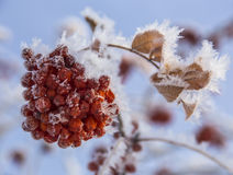 Hoarfrost on Red Berries Stock Photo