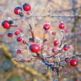 Hoarfrost on red berries Stock Image