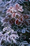 Hoarfrost on red Leaves on a cold Day stock photos