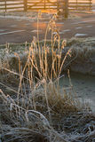 Hoarfrost. On reeds in the early morning light Stock Photo