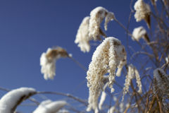Hoarfrost on reeds V2 Royalty Free Stock Images