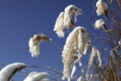 hoarfrost reeds v2 стоковые изображения rf