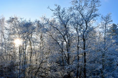 Hoarfrost and rime in trees Royalty Free Stock Image