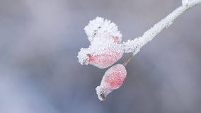 Hoarfrost on rose hips royalty free stock image