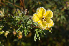 Hoarfrost Shrubby Cinquefoil flower Stock Photos