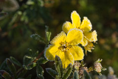 Hoarfrost Shrubby Cinquefoil flowers. Against natural background in sunlight Royalty Free Stock Photos