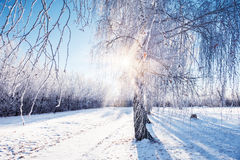 Hoarfrost and snow on the birch in winter park Royalty Free Stock Photos