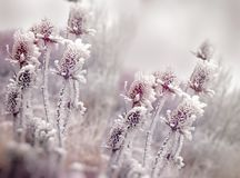 Hoarfrost on thistle - burdock, morning fog and frost in the meadow. Morning fog and frost in the meadow - hoarfrost on thistle - burdock, beauty in nature Royalty Free Stock Photos