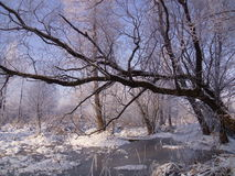 Hoarfrost is on trees Royalty Free Stock Photo