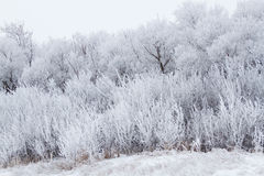 Hoarfrost on trees. Trees covered in hoarfrost in winter Stock Photo