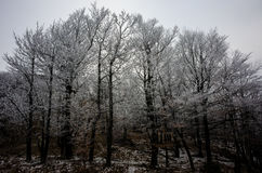 Hoarfrost on trees. Czech winter forest, white hoarfrost on trees Stock Images