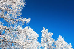 Hoarfrost on the trees and dark blue sky. Royalty Free Stock Photos