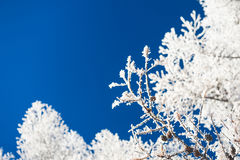 Hoarfrost on the trees and dark blue sky Royalty Free Stock Photo