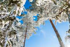 Hoarfrost on the trees in winter forest. Stock Photos