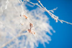 Hoarfrost on the trees in winter forest Royalty Free Stock Images