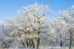 Hoarfrost on trees in the woods in winter Royalty Free Stock Image