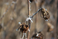 Hoarfrost on a twig. Stock Photos