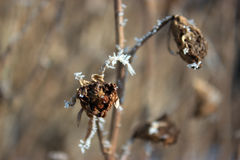 Hoarfrost on a twig. Stock Images