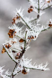 Hoarfrost. Hoarfrost on twig and produce Royalty Free Stock Photo