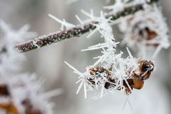 Hoarfrost. Hoarfrost on twig and produce Stock Photos