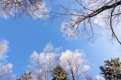 Hoarfrost w niebieskim niebie obraz royalty free