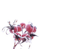 Hoarfrost on wild-rose Stock Photography