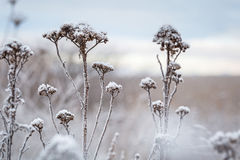 Hoarfrost on the winter bushes Stock Image