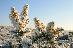 Hoarfrost upon yellow broom flowers Royalty Free Stock Image