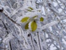 Hoarfrosted Blätter. Stockfoto