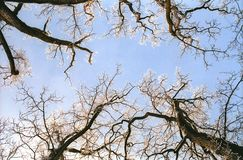 Hoarfrosted oak tree branches Royalty Free Stock Photography