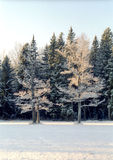 Hoarfrosted oak trees in very cold day Royalty Free Stock Images