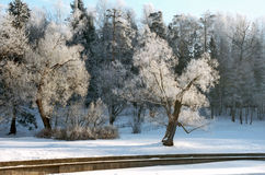 Hoarfrosted trees in winter morning Royalty Free Stock Image