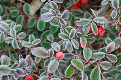 Hoarftost  on pyracantha red berries Royalty Free Stock Photos